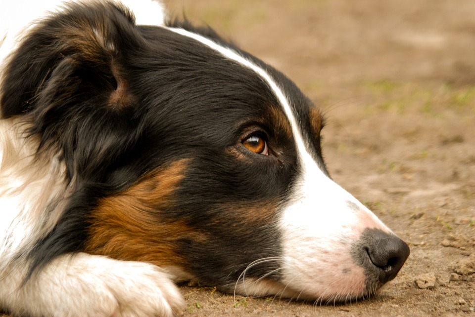 dog-3312015_960_720